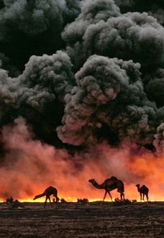 Camels, Al Ahmadi Oil Fields, Kuwait, wartime 1991. // Photo: Steve McCurry