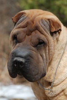♥169DD CHINESE SHAR PEI #sharpei #dog #doggie dog