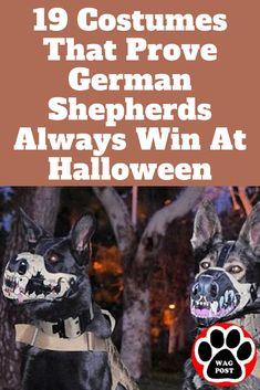 Halloween was MADE for german shepherds.