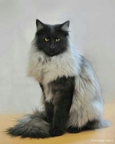 NORWEGIAN FOREST CAT - THIS ONE HAS TOTALLY AWESOME COLORING Norwegian Forest Cats have long tails that are covered profusely in fur. The head is triangular in shape, and the facial expression is sweet. Their paws are large and round, and have heavy tufting between the toes.
