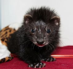 I WANT this Black Ferret!!!!