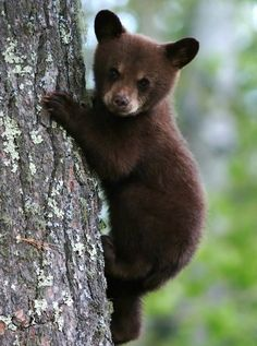Twenty years have passed since Gary Brown wrote the Great Bear Almanac Populations have increased in 3 states that had very low bear numbers then. Beautiful Creatures, Animals Beautiful, Grizzly Bear Cub, Bear Paw Quilt, Black Bear Cub, Bear Paintings, Bear Images, Brother Bear, Bear Paws
