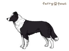 Furry Paws // Breed Information - Border Collie