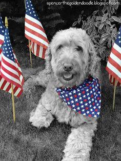 Spencer the Patriotic Goldendoodle
