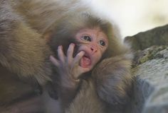 https://flic.kr/p/eiQpU2 | Newborn Baby | Snow Monkeys live in Jigokudani,Nagano prefecture 1Dx、 EF70-200mmf2.8L Ⅱ