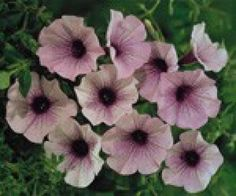 'Cascadia' and 'Surfinia' are 2 more popular types bred for their trailing habit, vivid colors and prolific flowering. You'll find lots of interesting shading and veining with these petunias. They are also easy care, spreading to about eighteen inches. These petunias are best suited for hanging baskets and window boxes.
