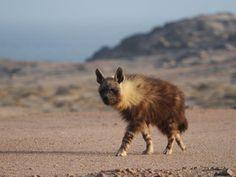 Brown hyaena #Namibia Wilderness, Kangaroo, Safari, Wildlife, African, Tours, Album, Explore, Brown