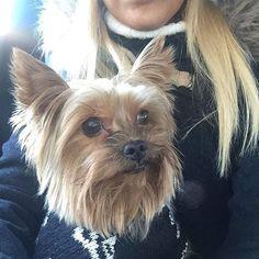 #yorkshire #yorkshireterrier #yorkshireterriers #ilovemydog #ilovedogs #instapuppy #instapuppies #puppygram #puppyeyes #puppydog #puppyface #yorkie #yorkies #yorkielife #йоркширскийтерьер #йорк #йоркшир #dogslife #dogselfie #dogsofinsta #dogsdaily #littledoglife #smalldogs #mylove  Photo By: nadyavozduh  http://bit.ly/teacupdogshq