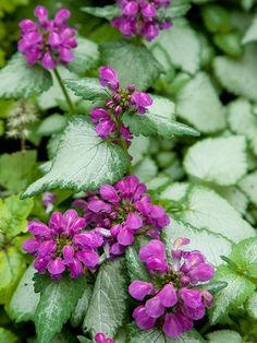 A topnotch groundcover, 'Purple Dragon' lamium offers wonderful heart-shape leaves overlaid in silver and clusters of red-purple flowers throughout the summer.   Name: Lamium 'Purple Dragon'  Growing Conditions: Shade and moist, well-drained soil  Plant Size: To 8 inches tall and 3 feet wide  Zones: 4-8