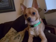 Meet Jose Cuervo!, an adoptable Chihuahua looking for a forever home. If you're looking for a new pet to adopt or want information on how to get involved with adoptable pets, Petfinder.com is a great resource.