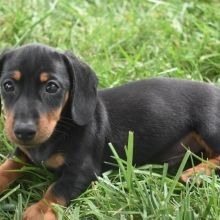 Dachshund Puppies For Sale Puppyspot Dachshund Puppies For