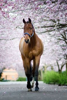 Horse on a walk down pink flowering lane. (91) Kunddahl Graphic & Photography - Photos
