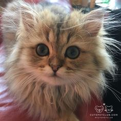 From @princessvioletdawson: When you have just woken up and your hair is a mess! #cutepetclub [source: http://ift.tt/2d4GKxK ]