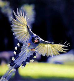 Blue magpie (red billed)