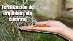 Fertilizar Orquídeas sin sustrato, en troncos o sin maceta    Orquiplanet