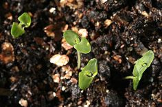 lavender seedling