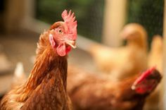 7 (More) Simple Tips For Spotting And Treating Common Chicken Illnesses