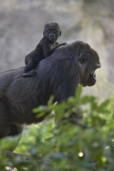 Gorilla and baby...San Diego Zoo, via Flickr
