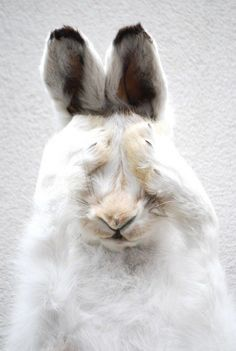 Just a cute bunny rabbit. Animals And Pets, Baby Animals, Funny Animals, Cute Animals, Funny Bunnies, Cute Bunny, Mundo Animal, My Animal, Beautiful Creatures