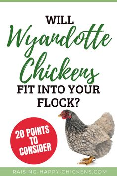 Wyandotte chickens are glamorous, showy, stately, a bit of a diva - but will Wyandottes fit into your family and your backyard? if you're thinking of starting out with them or adding them to your existing backyard flock, this at-a-glance guide, based on the experience of Wyandotte breeders and keepers will help you make the decision. Learn more >> Wyandotte Chicken, Raising Backyard Chickens, Important Facts, Chicken Breeds, Flocking, How To Stay Healthy, Diva, Happy, Breeds Of Chickens