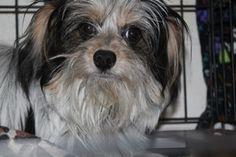 Coton de Tulear dog for Adoption in Minneapolis, MN. ADN-490597 on PuppyFinder.com Gender: Male. Age: Baby