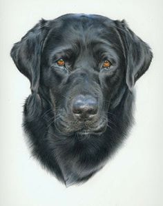 how to draw a black labrador step by step