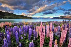 Lupins on the shore of Lake Tekapo