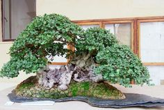 TRINACRIA BONSAI FORUM - Bonsai Carrubo