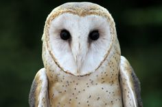The barn owl is a farmer's best friend. By hunting mice and other small mammals, which it can catch in total darkness, the owl helps control the population of