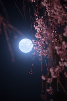 200 years old cherry tree & full moon Moonlight Photography, Moon Photography, Beautiful Nature Wallpaper, Beautiful Moon, Scenery Wallpaper, Dark Wallpaper, Moon Pictures, Nature Pictures, Full Moon Photos