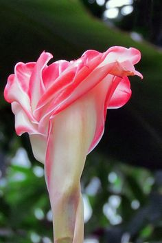 ~~Torch Ginger ~ a tropical beauty by njchow82~~