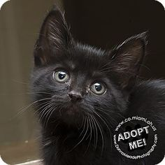 Pictures of Danny a Domestic Shorthair for adoption in Troy, OH who needs a loving home.
