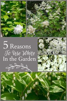 Using white in the garden has many benefits. Adding light to shady areas, a feeling of calm and showing up at night are a few benefits of a white garden.