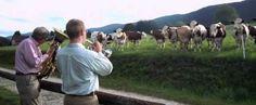 jazz-vacas