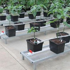 Aquaponics DIY Fish Bowl - Rudimentary Aspects For Aquaponics Greenhouse - What's Required - Mc Geehan Aquaponics Greenhouse, Aquaponics Plants, Hydroponics System, Hydroponic Gardening, Organic Gardening, Commercial Aquaponics, Types Of Farming, Types Of Vegetables, Tall Plants