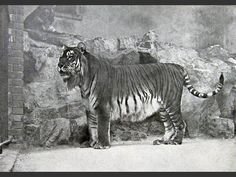 caspian tiger, one of the largest tigers to have lived, hunted into extinction, last confirmed sighting in 1970's, believed extinct.