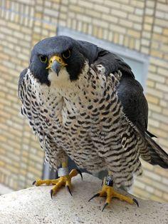 Peregrine falcon  (photo via macombcountymi.gov)