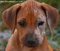 Rhodesian Ridgeback, 2 months, Wheaton, he fell in the sand Big Dogs, Large Dogs, Cute Dogs, Dogs And Puppies, Doggies, Rhodesian Ridgeback Puppies, Animals And Pets, Cute Animals, Most Beautiful Dogs