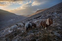 Scotland - Shetland ponies graze on a hill side on Foula Isle, one of Great Britain's most remote permanently inhabited islands. Currently there are about 25 people living there.