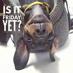 """Get fantastic pointers on """"Dachshund dogs"""". They are available for you on our internet site. Dachshund Funny, Dachshund Quotes, Dachshund Gifts, Dachshund Love, Dog Quotes, Funny Dogs, Funny Animals, Cute Animals, Daschund"""