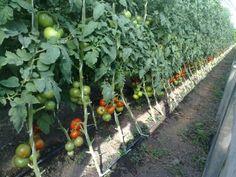 Strength Of Materials, Fruit Photography, Flower Stands, Growing Vegetables, Vegetable Garden, Solar, Mango, Home And Garden, Flowers