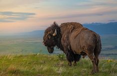 2013 National Geographic Traveler Photo Contest - In Focus - The Atlantic - 13 King of the Hill: An American Bison on the National Bison Range, Moiese, Montana. (© Mark Mesenko/National Geographic Traveler Photo Contest) #