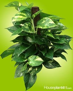 Rubber Tree Plant How To Identify And Care For
