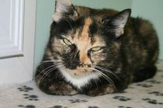 Misty is an adoptable Domestic Short Hair Cat in Chelmsford, MA.            ...
