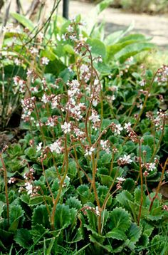 RHS Plant Selector Saxifraga × urbium ,S. × urbium is an evergreen perennial to 30cm in height, forming wide mats of rosettes of spoon-shaped, long-stalked leaves with scalloped margins. Small pink-flushed white flowers are borne in lax panicles from early summer. Easy to grow in any type of soil or situation but ideal for deep or partial shade. Hardy H5 (english cold winter)
