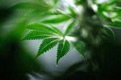 【画像】カナダの学校で大麻栽培の専門講座を計画 学生の就職対策が目的 - ライブドアニュース