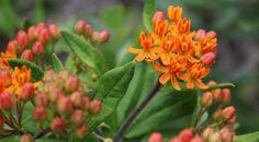 Virginia Wildflowers | a natural history gallery of wildflowers ...