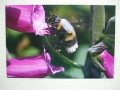 Photographic greetings card of a Bumble Bee taking nectar from Foxgloves. £2.25