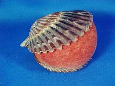 This is a handsome pin cushion fashioned from two shells with a velvet covering. Similar pincushions made from scallop shells were made and