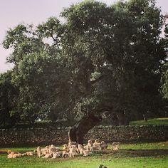 Dehesa de Los Pedroches www.cortijosydehesa.com